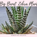 Big Band Zebra Plant